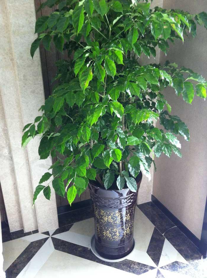 摇钱树|重庆植物租赁_出租公司哪家好,重庆花卉植物网